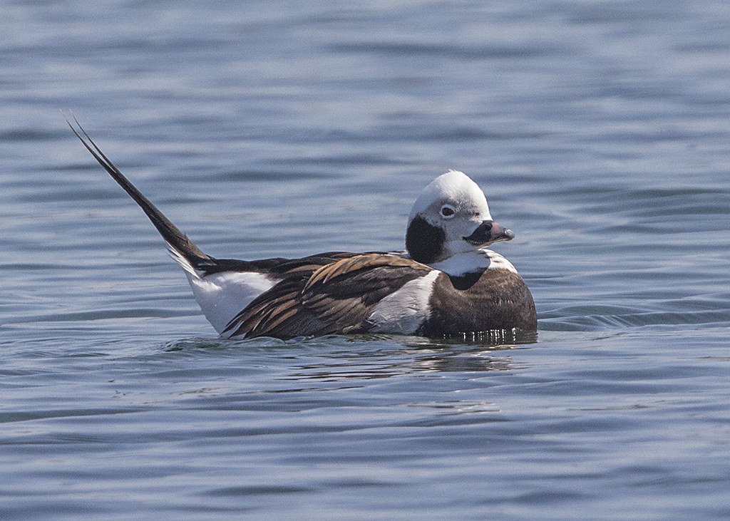 Long-tailed Duck   Clangula hyemalis