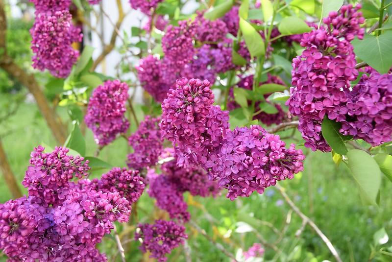Lilac 30.04 (3)