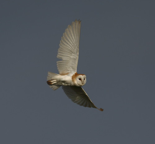 Barn Owl,evening hunting.