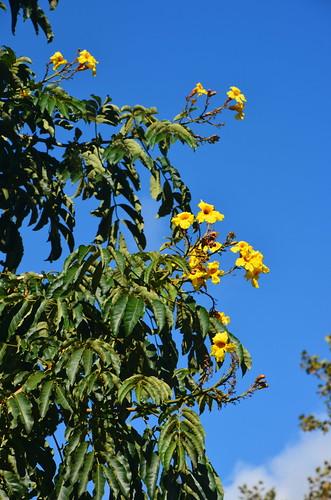 Gelbe Blüten bei Machiko