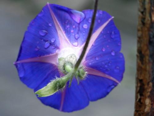 20100827 012 0107 Jakobus blau Blume Wassertropfen_K_01a