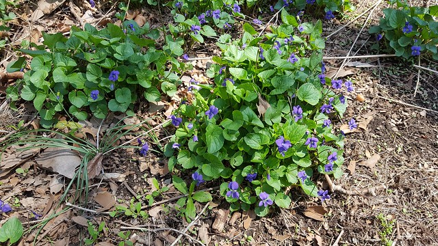 Viola sororia, common blue violet, in the front yard, April 2018