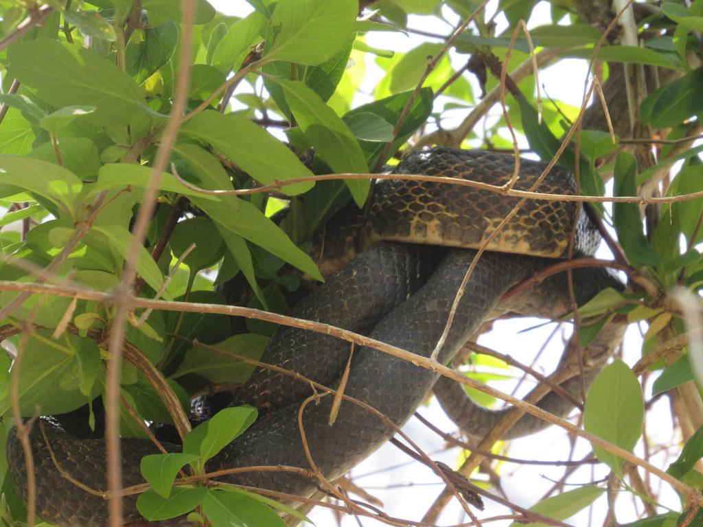 Whatever Rat Snake