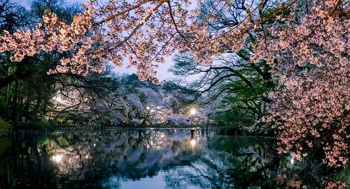 吉祥寺 kichijyoji 東京 hanami 桜 井の頭公園 inogashira cherryblossom 花見 cherry reflection park tokyo japan ngc sakura chofu