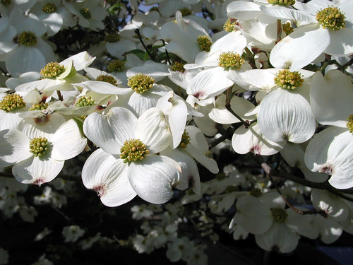 Cornus florida 'Cloud 9' 2