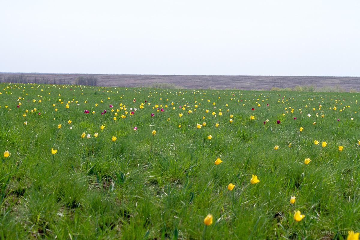 тюльпаны иваново поле фото 1
