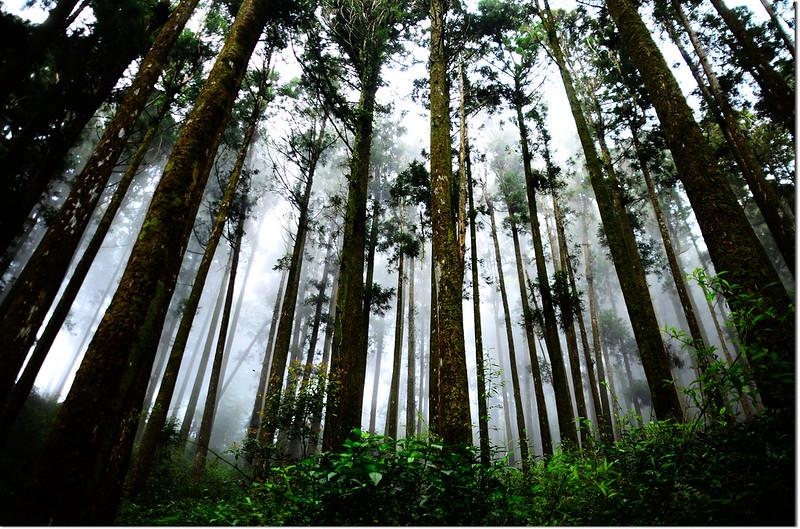 大凍山步道杉木林