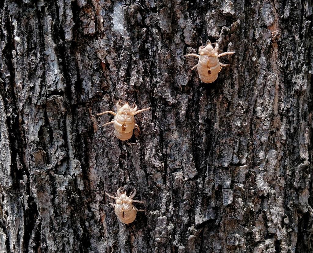 Cicada moults