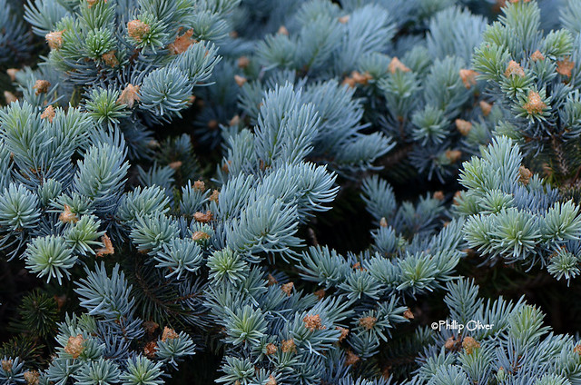 Picea pungens (Colorado Blue Spruce 'Globosa'