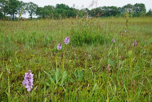 Wilde orchideeën bij Lievelde