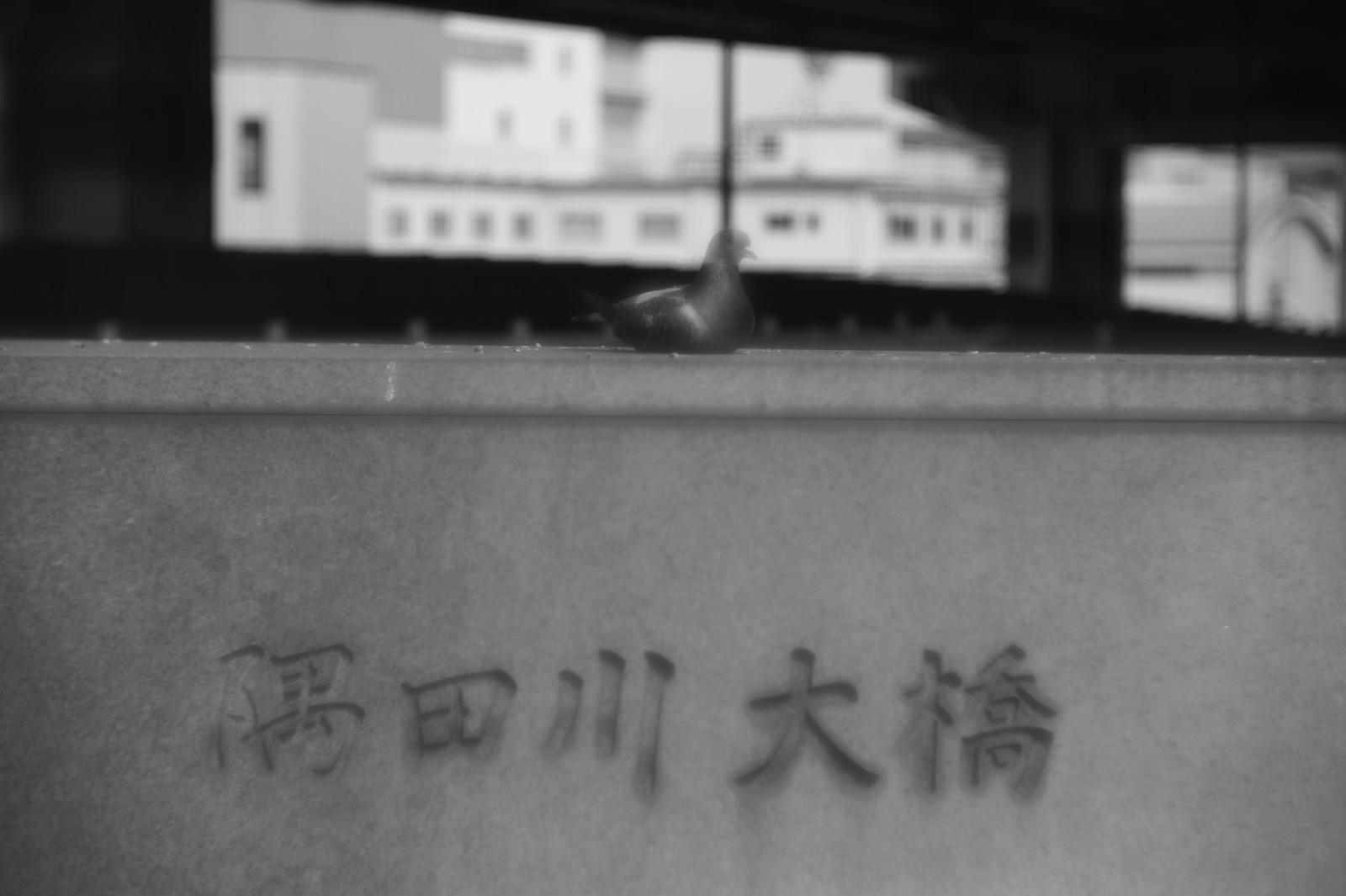 Transparent pigeon