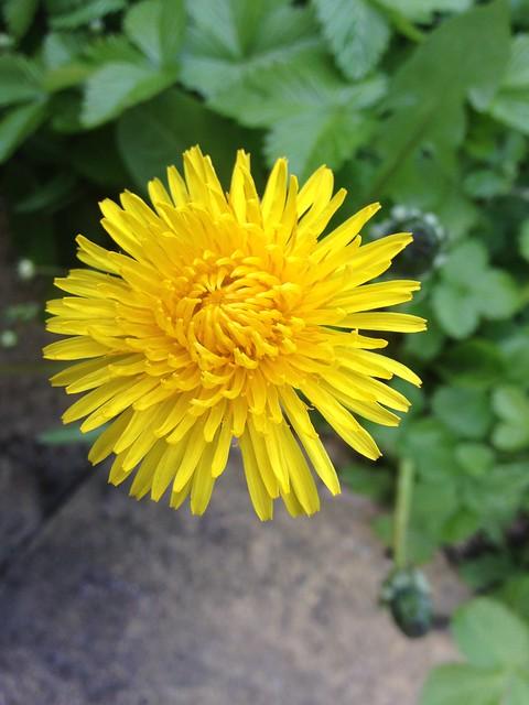 Spring flowers: Dandelion