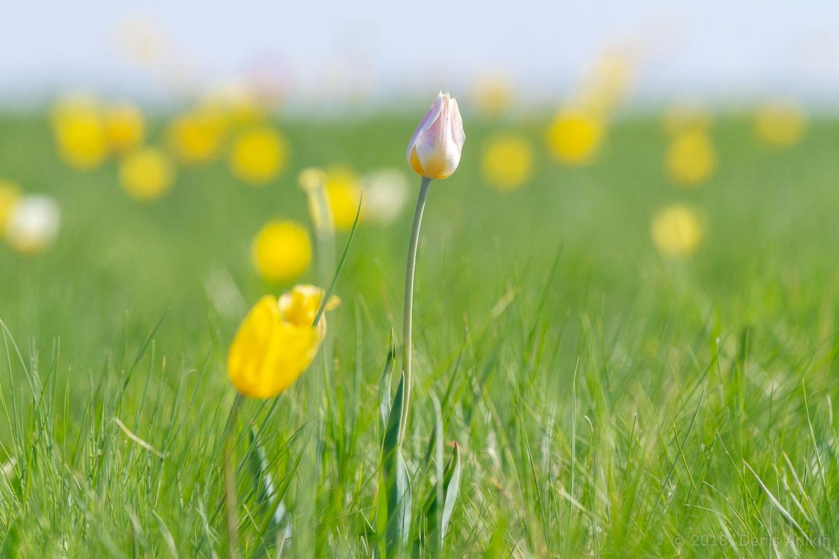 тюльпаны иваново поле фото 17