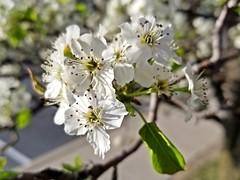 Apple blossom in Laurel