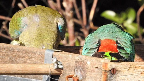 Red-rump parrot pair