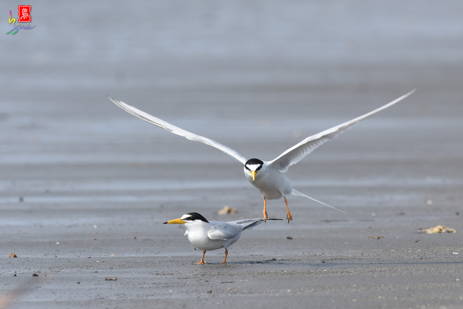 Little_Tern_4453