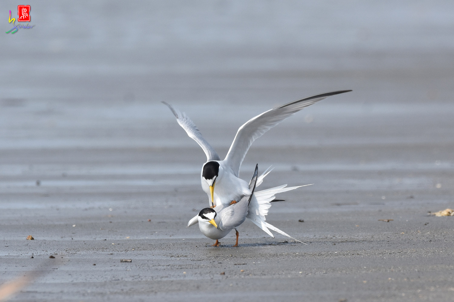 Little_Tern_4446