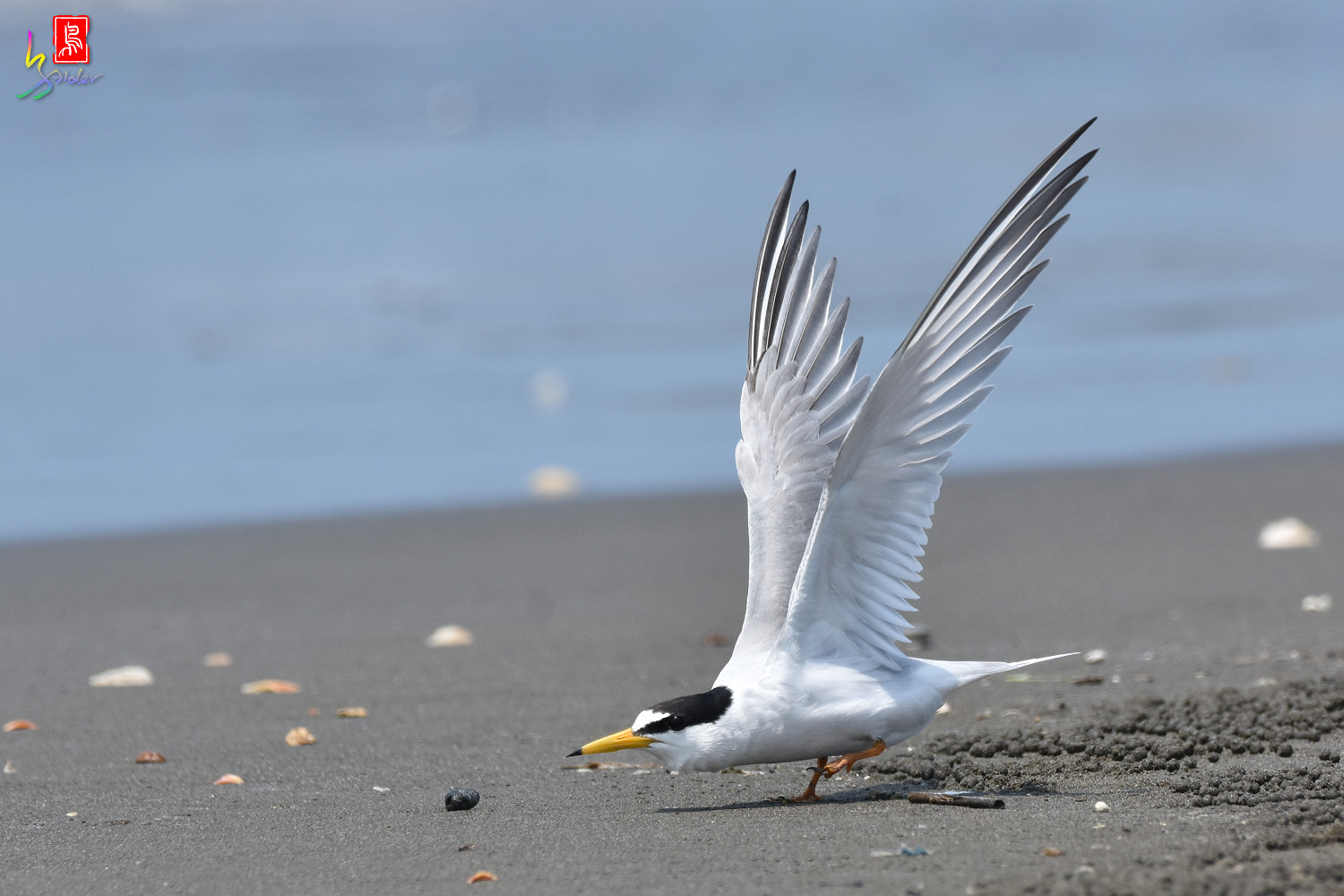 Little_Tern_4994