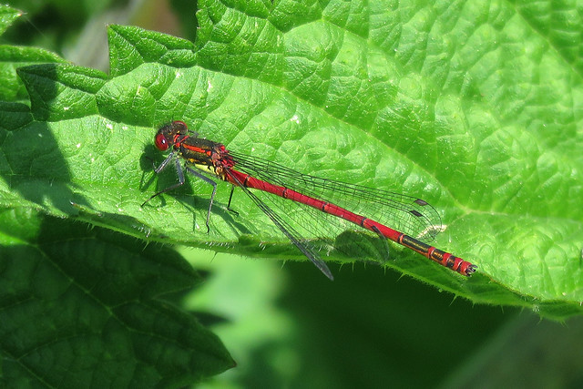 Large Red Damselfly -Volucella bombylans