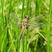 Female Four Spotted Chaser dragonfly