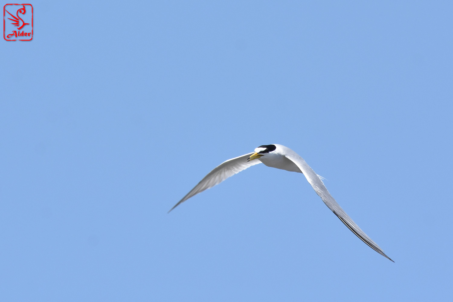 Little_Tern_8251