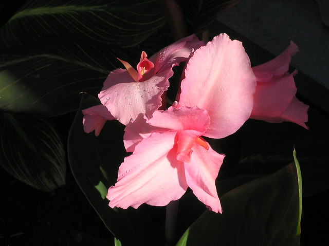 Canna 'Pink Perfection'