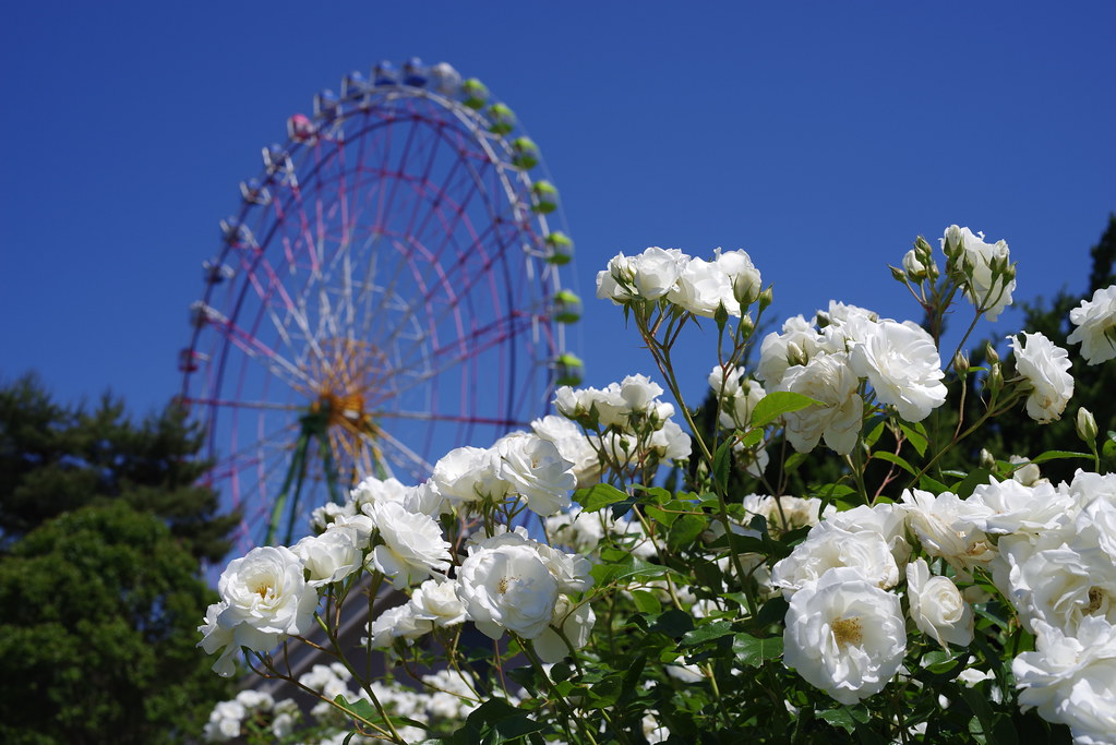 Ferris wheel and rose