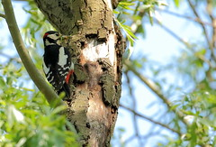 HolderMale Great Spotted Woodpecker collecting caterpillars.