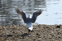 HolderBlack Headed Gull