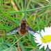 Dark-bordered Bee-fly, Burntisland, Fife, Scotland