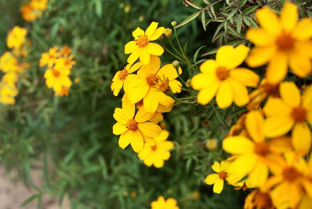 Jolies fleurs jaunes du jardin botanique de Palerme en Sicile.