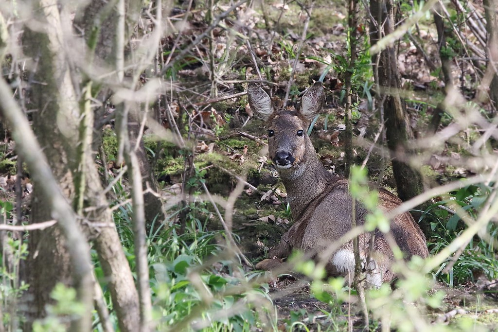 Roe Deer settling for the evening