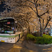 Bus Station under the Cherry Blossom Shanghai China