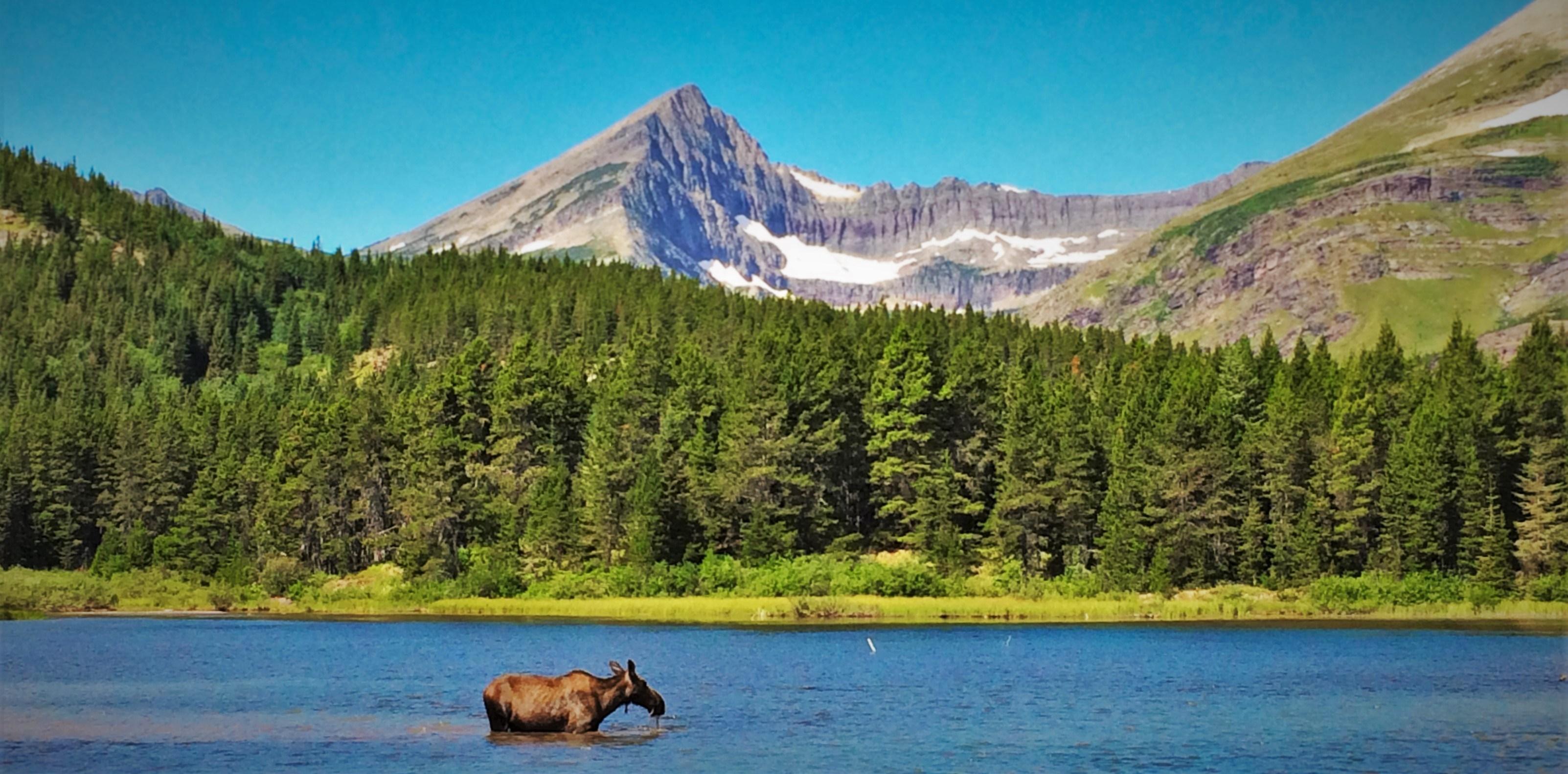 Cow moose in Fishercap Lake, Glacier National Monument, Montana.