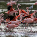 Chilean Flamingos shutterstock_654990355