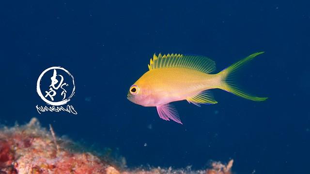 スミレナガハナダイ幼魚ちゃん。こちらは楽しそうに遊泳されてましたw