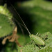 Speckled bush-cricket (Leptophyes punctatissima) nymph
