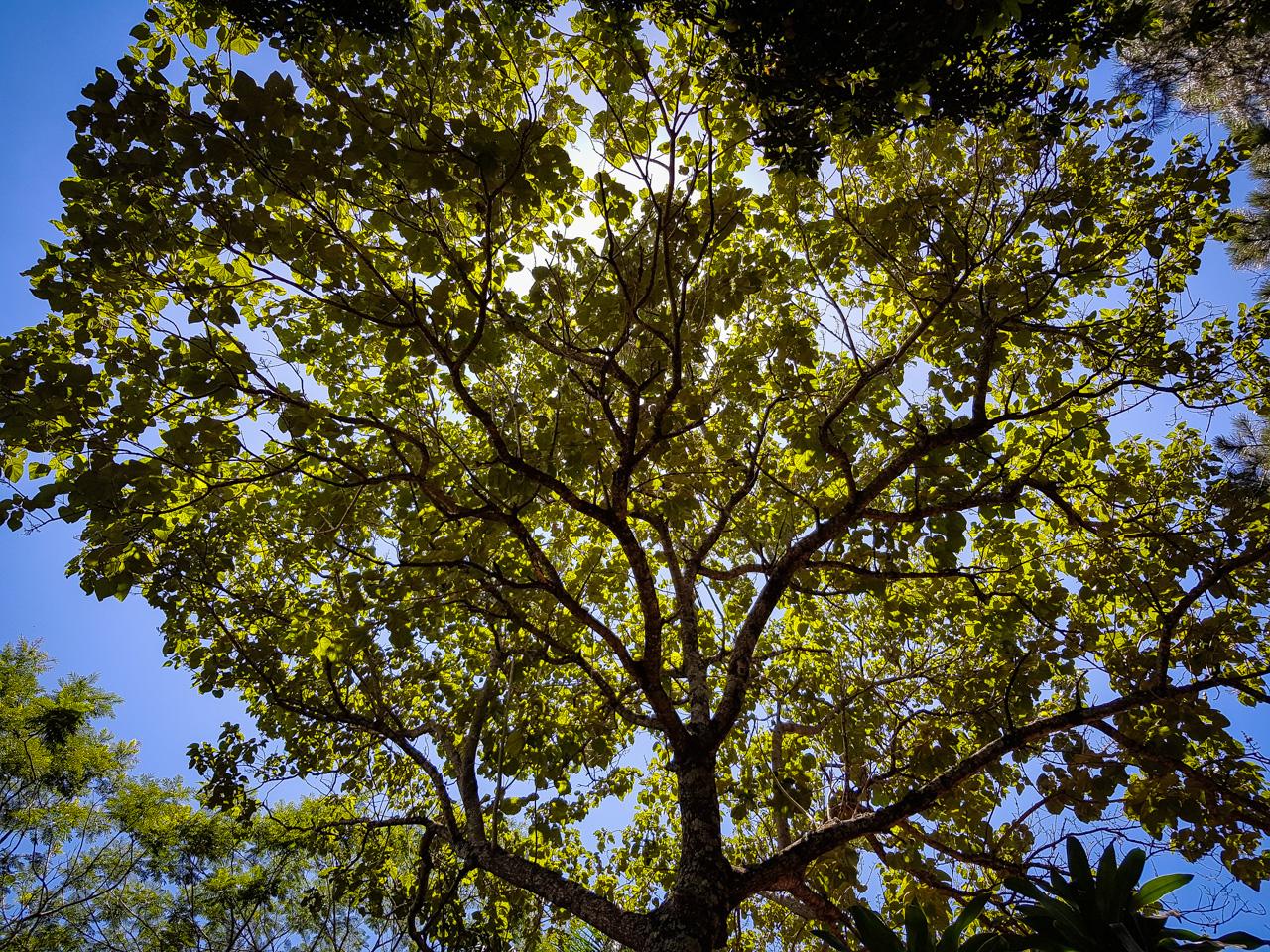 Frondoso árbol que cumple la tarea de tapar el sol y generar sombra para todos. Nos recuerda que tenemos una obligación de seguir plantando y cuidarlos por nuestro propio bien. (Elton Núñez).