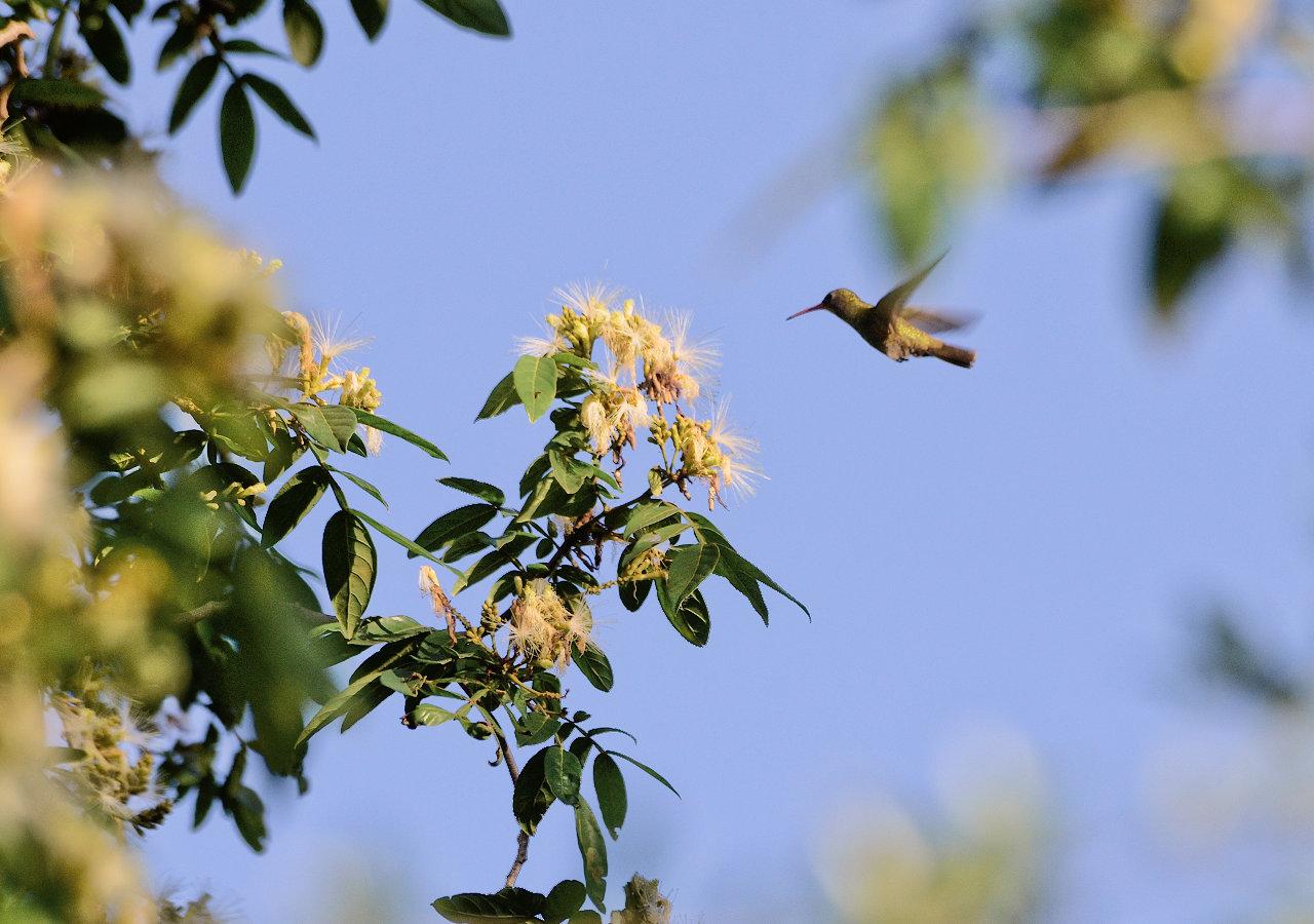 Un colibrí busca alimentarse con néctar de flores de los árboles de una propiedad en la localidad de Zanjita, departamento de Ñeembucú. (Elton Núñez).