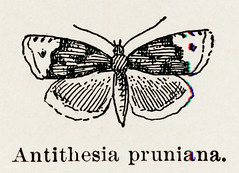 Lesser Long-cloak Tortrix (Antithesia pruniana) from Moths and Butterflies of the United States (1900) by Sherman F. Denton (1856-1937). Digitally enhanced from our own publication.