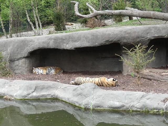 Tiger, Hagenbeck