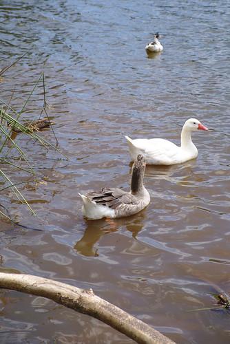 Geese, Lake Canobolas