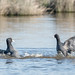 Eurasian Coots (1 of 3)