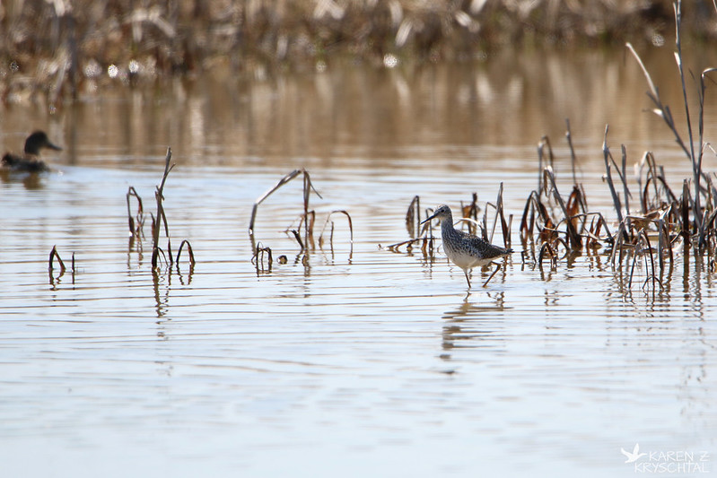 IMG_2883LesserYellowlegs