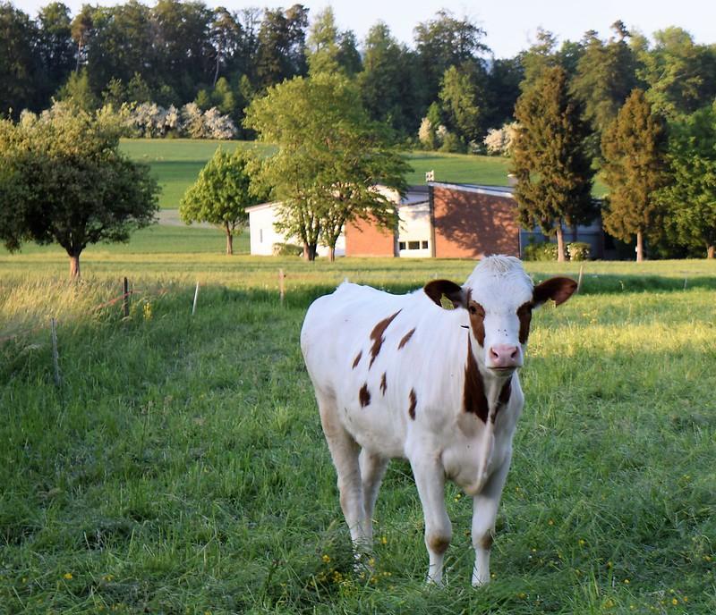 Cows 08.05 (2)