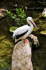 American white pelican Xaret.. Nikon D3100. DSC_0698.