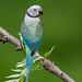 Blue-winged Parakeet by shoothekuruvi