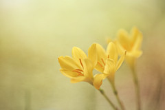 Yellow crocus....