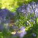 Dappled Bluebells