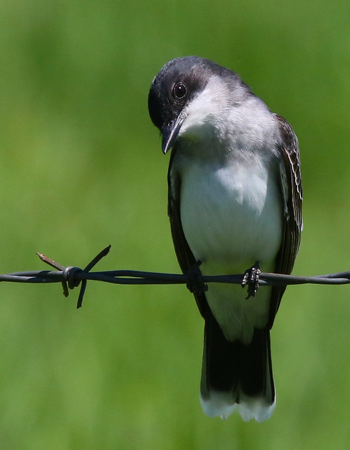 eastern-kingbird-50w